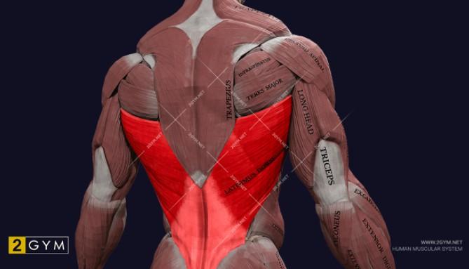 Широчайшая мышца спины, анатомия, функции и упражнения